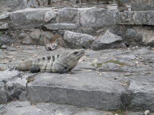 Iguana guardian