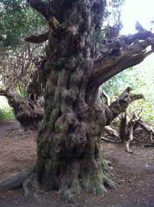 old yew